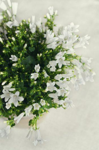 Campanules, image haute résolution libre de droit à télécharger pour identité visuelle, communication et décoration. Décoration Fleurs Blanc Mariage