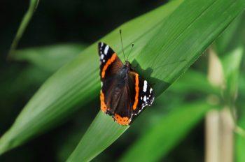 Papillon sur une feuille de bambou, image haute résolution libre de droits à télécharger pour identité visuelle, communication et décoration. Insecte