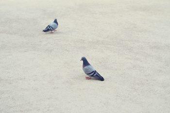 Pigeons dans un parc, image haute résolution libre de droits à télécharger pour identité visuelle, communication et décoration. Oiseau Ville Jardin Gris