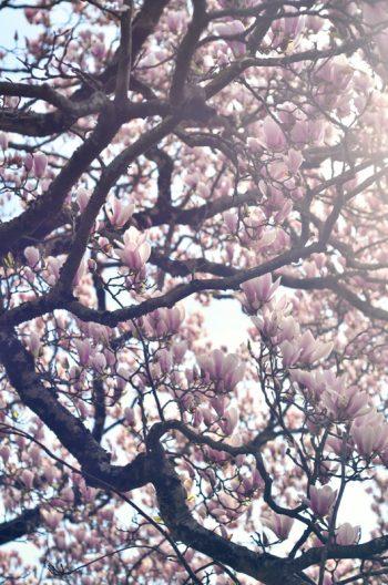 Branches de magnolia, photographie haute résolution libre de droits à télécharger pour identité visuelle, communication et décoration.Printemps Fleurs Rose