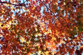 Erable en automne, Photographie haute résolution libre de droits à télécharger