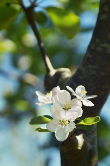 Fleurs de pommier, photographie haute résolution libre de droits à télécharger pour identité visuelle, communication et décoration. Verger Jardin Nature