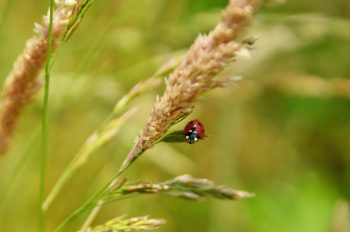 Coccinelle, photographie haute résolution libre de droits à télécharger pour identité visuelle, communication et décoration. Insecte Prairie Sauvage Nature