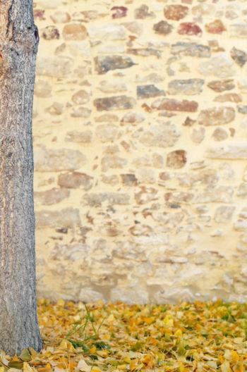 Mur de pierres et Ginkgo Biloba, photographie haute résolution libre de droits à télécharger / Ville, Arbre, Automne, Feuille, Image, Plante, Végétal, Jaune