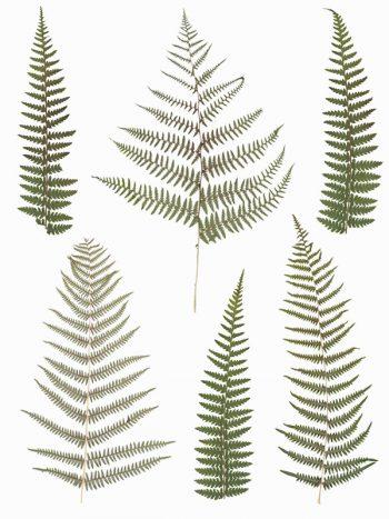 Herbier Fougères, images végétales haute résolution libre de droits à télécharger et à imprimer. Illustrations Végétaux Plantes Feuilles Fleurs Numériques
