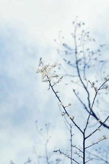 Fleurs d'hiver, photographie haute résolution libre de droits à télécharger / Winter's flowers, royalty free and high resolution photograph downloadable for visual identity, graphic design or decoration. Spring Nature Wild White