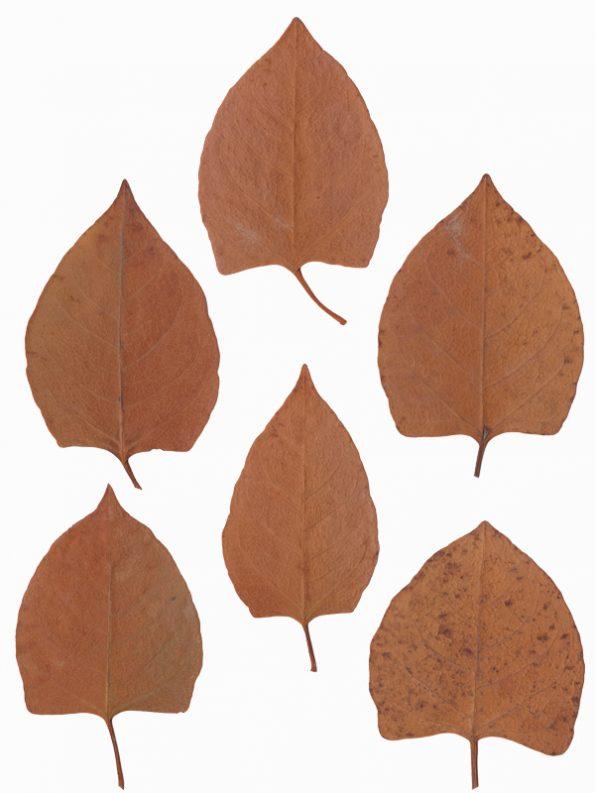 Herbier Renouée du Japon, images végétales haute résolution libre de droits à télécharger et à imprimer. Illustrations Végétaux Plantes Feuilles Fleurs Numériques Imprimables Nature Plantes Sauvage Botanique Impressions * Creative Lune *