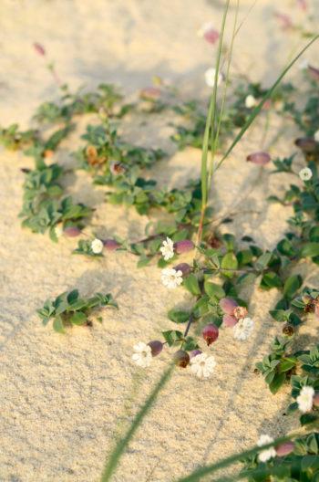 Plante de dune en fleurs : Silène de Thore, image haute résolution libre de droits à télécharger / Végétation Nature Landes Sable Sauvage Océanique Mer