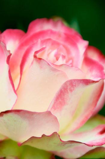Fleur de printemps : rose blanche aux contours rosés, image haute résolution libre de droits à télécharger • Printemps, Fleurs, Jardin, Nature, Blanc