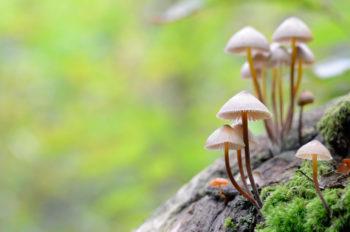 """Champignons """"Mycènes"""" poussant sur une souche de bois, image haute résolution libre de droits à télécharger / Nature, Forêt, Automne, Sous-bois, Forestier"""