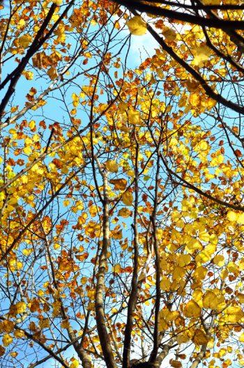 Arbre d'automne : Tilleul, image haute résolution libre de droits à télécharger
