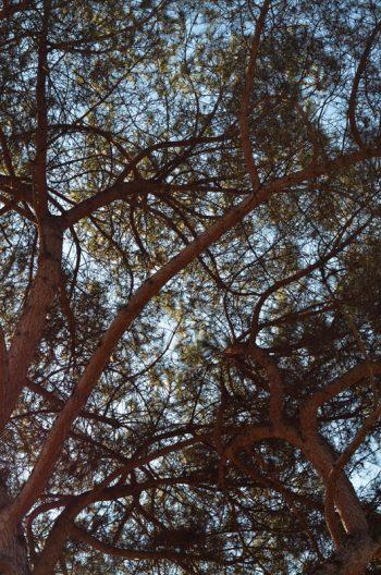 Arbre du sud : Pin parasol et sa ramure • Image haute résolution libre de droits à télécharger / Photographie, Nature, Plantes, Mer, Marin, Végétal, Branche