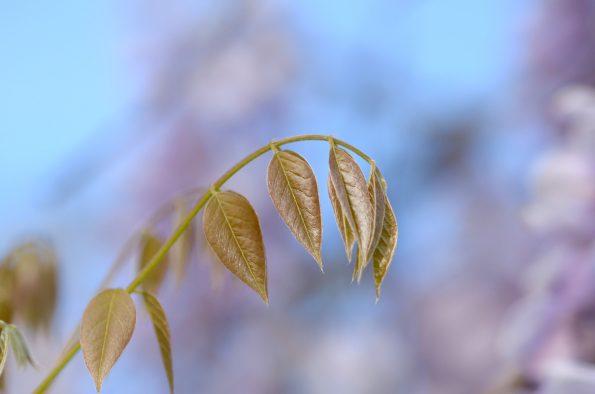 Le printemps au jardin : Glycine et ses feuilles délicates • Image haute résolution libre de droits à télécharger / Nature au printemps, Fleurs, Floraison