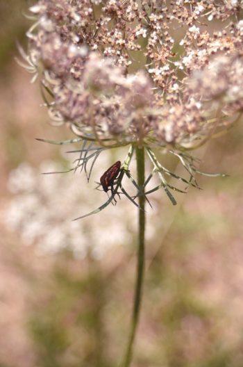 Nature en été : Carotte sauvage et Pentatome rayée • Image haute résolution libre de droits à télécharger • Creative Lune