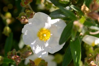 Fleurs d'été : Ciste blanche • Image haute résolution libre de droits à télécharger • Creative Lune