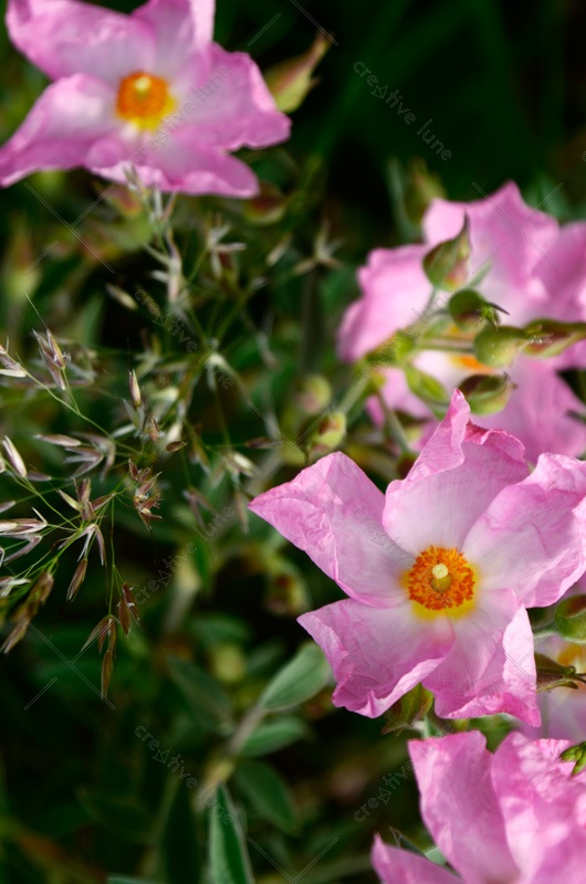 Fleurs de Ciste rose par temps ensoleillé • Image haute résolution libre de droits à télécharger • Creative Lune