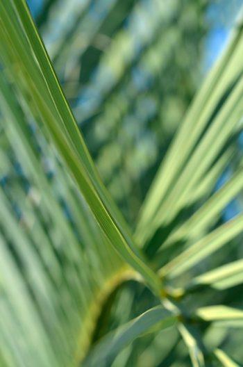 Feuillage graphique : palmier Butia capitata • Image haute résolution libre de droits à télécharger • Creative Lune