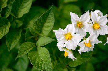 Potager et légumes : fleurs de Pomme de terre • Image haute résolution libre de droits à télécharger • Creative Lune