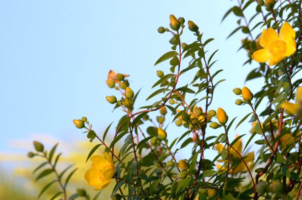 Floraison estivale : Millepertuis • Image haute résolution libre de droits à télécharger • Creative Lune