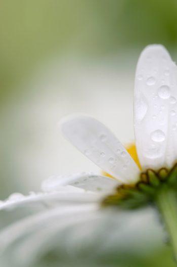 Le jardin après la pluie : fleur de Marguerite • Image haute résolution libre de droits à télécharger • Creative Lune