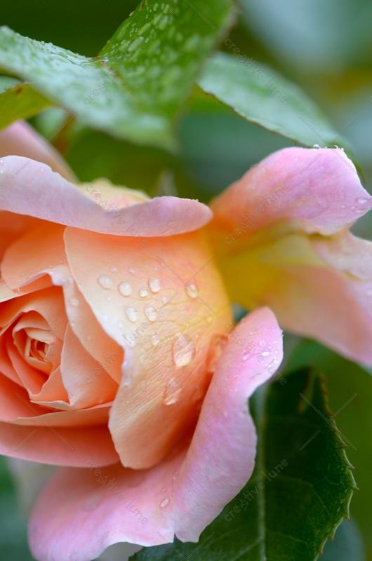 Rose printanière parsemée de gouttes d'eau • Image haute résolution libre de droits à télécharger • Creative Lune