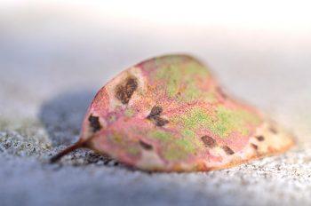Feuille d'Eucalyptus tâchée et colorée par le soleil • Image haute résolution libre de droits à télécharger