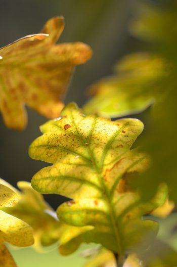 Feuilles de Chêne en automne • Photo arbre libre de droit à télécharger