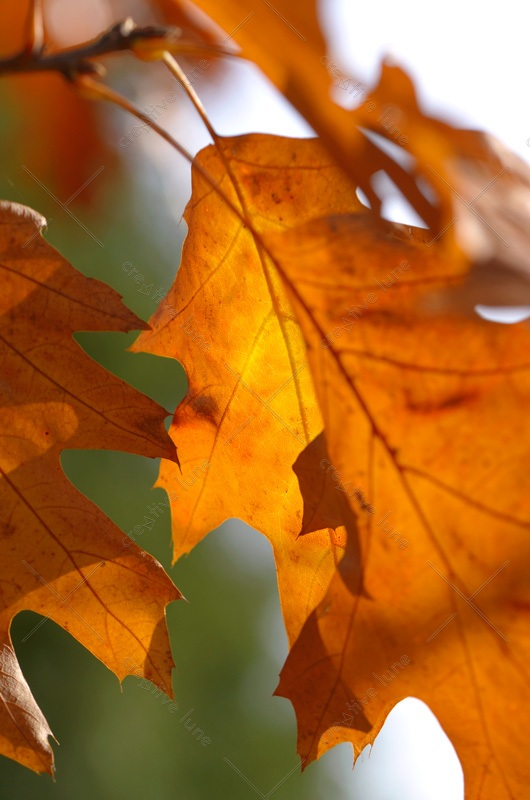 Chêne rouge d'Amérique et son feuillage cuivré • Photographie Nature en automne libre de droits à télécharger