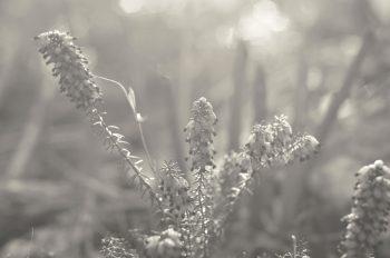 Fleurs de bruyère baignées de lumière • Photo Noir et Blanc à télécharger / Image de nature libre de droit, Photographie de plante maritime - Creative Lune