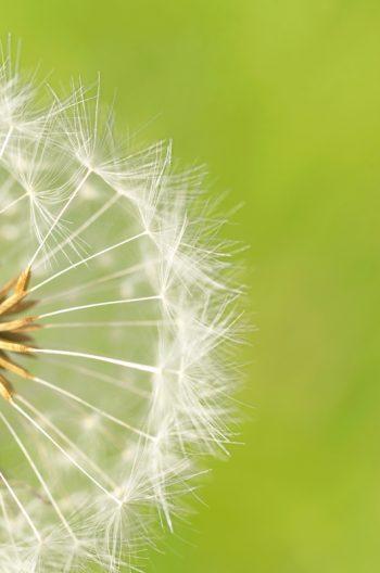Fleur de pissenlit : aigrettes et graines • Photo Macro de plante sauvage à Télécharger / Image de fleur de pissenlit Libre de droit - Creative Lune