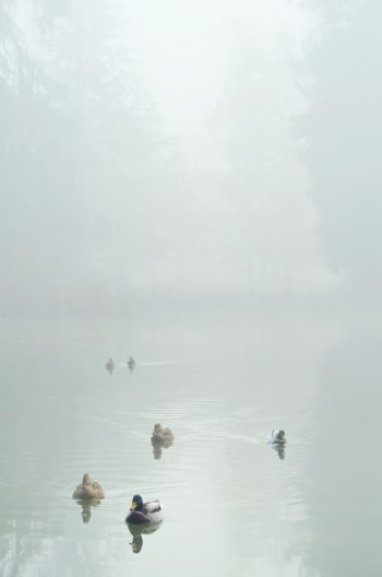 Ducks on a lake in the early morning • Creative Lune