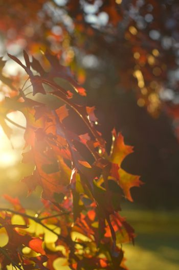 Pin oak in autumn - royalty free and downloadable picture of nature / Photo of a resplendant oak foliage in autumn • Creative Lune