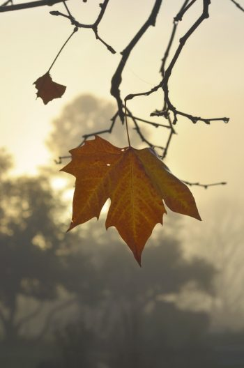 Morning light on a plane tree leaf - royalty free & downloadable autumn picture / Photo of a plane tree in the fog • Creative Lune