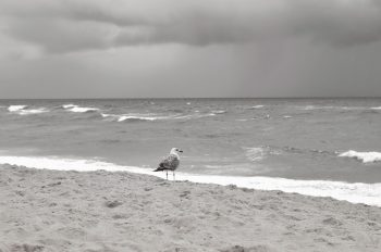 Seagull facing the ocean - royalty free & downloadable animal photo / Black and white picture of a silver seagull in a natural environment