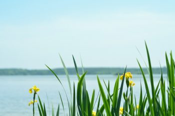 Yellow iris by the water - royalty free & downloadable nature picture / Photo of a lake bordered by yellow iris in a peaceful environment