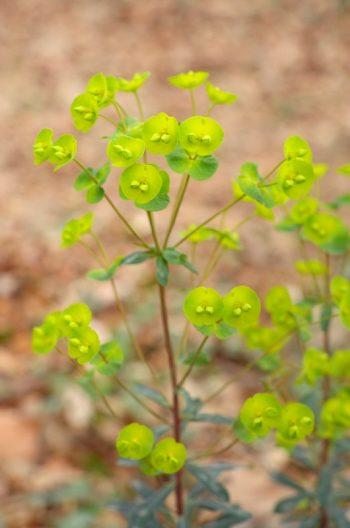Euphorbia in undergrowth - photo wild plants & nature • Creative Lune