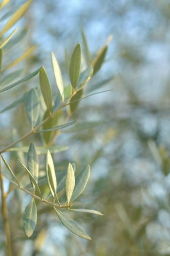 Olive tree and its silver foliage • Creative Lune