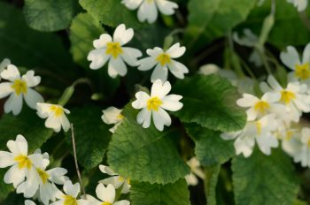 Wild primrose - downloadable & royalty free flower picture • Creative Lune