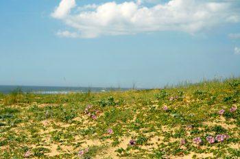 Flowery dune in spring - photo Ocean & Biodiversity • Creative Lune