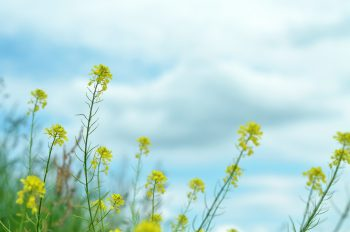 Spring flowers : Canola - royalty free nature photo • Creative Lune