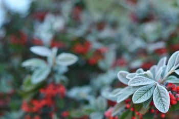 Baies rouges givrées, photographie haute résolution libre de droit à télécharger pour identité visuelle, communication et décoration. Hiver Noël Jardin