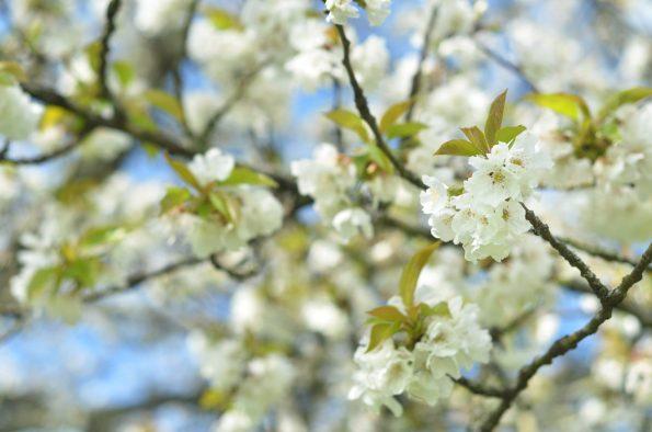 Cerisier au printemps - photo fleurs & nature libre de droits • Creative Lune