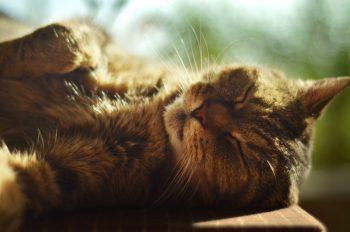 Chat dormant au soleil, image haute résolution libre de droits à télécharger pour identité visuelle, communication et décoration. Animal