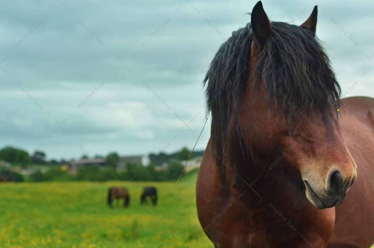 Cheval dans une prairie, image haute résolution libre de droits à télécharger pour identité visuelle, communication et décoration. Animal Campagne