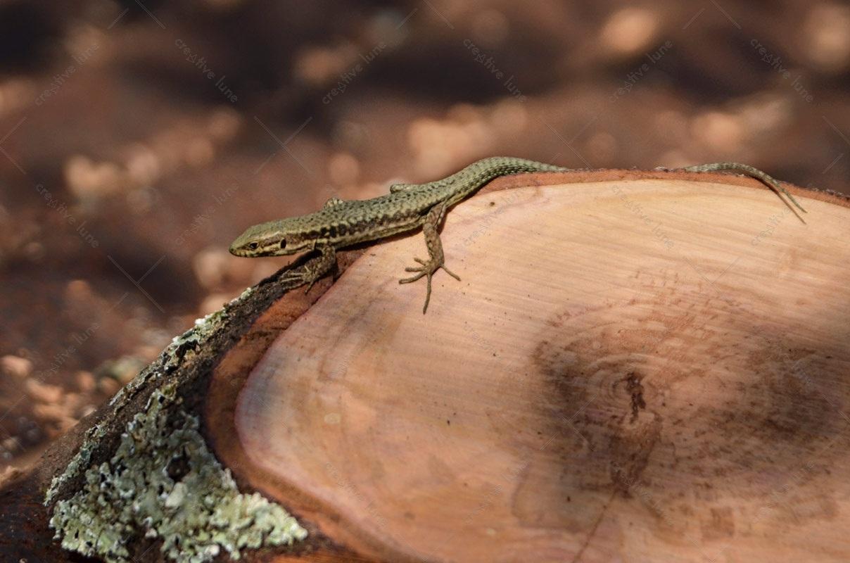 Lézard sur une souche d'arbre, image haute résolution libre de droits à télécharger pour identité visuelle, communication et décoration. Reptile Animal