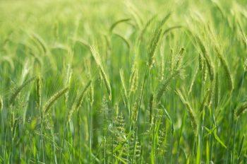 Champ de blé, photographie haute résolution libre de droits à télécharger pour identité visuelle, communication et décoration. Culture Nature Céréale