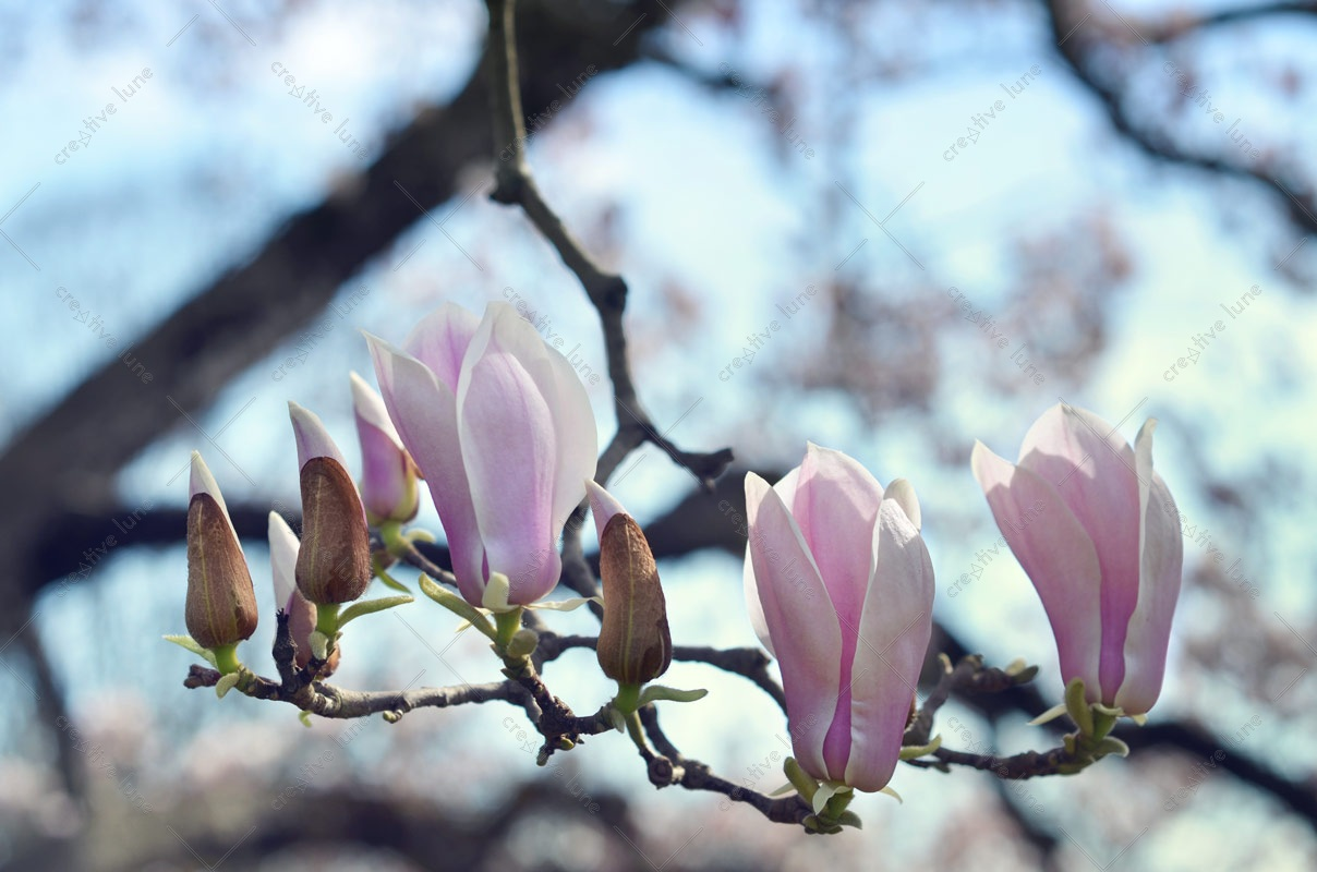 Magnolia tree flowers, royalty free and high resolution photograph downloadable for visual identity, graphic design or decoration. Spring Nature Pink