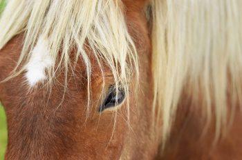 Portrait de cheval, photographie haute résolution libre de droits à télécharger pour identité visuelle, communication et décoration. Animal Nature Montagnes