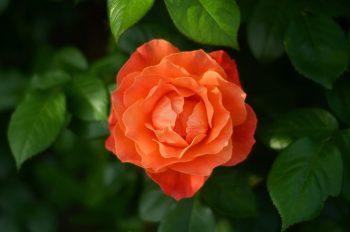 Rose orange, photographie haute résolution libre de droits à télécharger pour identité visuelle, communication et décoration. Plante Jardin Fleur Nature