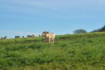 Troupeau de vaches, photographie haute résolution libre de droits à télécharger